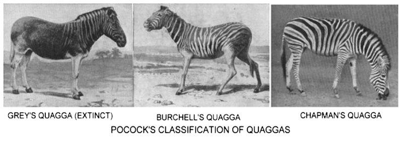 a baby quagga