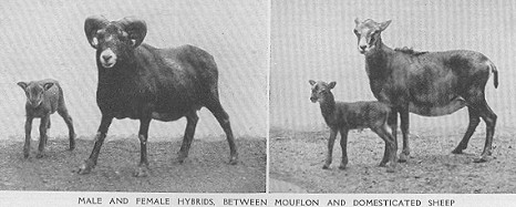 http://messybeast.com/genetics/1910-sheepmouflon.jpg