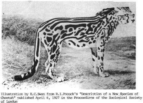 King Cheetah early sig...
