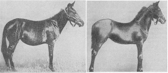 ZEBRA/HORSE, ZEBRA/PONY HYBRIDS