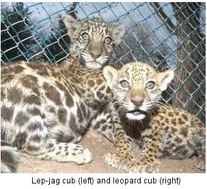 Mexico Reported A New Litter Of Cubs Including Lepjag They Were Described By The News As One Jaguar Panther Leopard