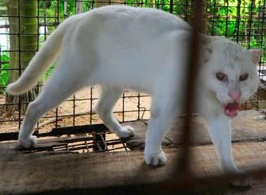 MUTANT BIG CATS 2