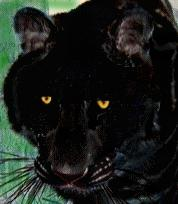 Historical Chinese literature also contains reports of black tigers    Black Tigers Animal