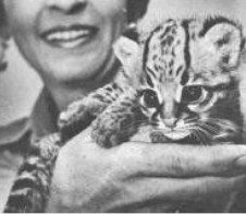 OCELOT, MARGAY, ONCILLA AND GEOFFROY'S CAT HYBRIDS