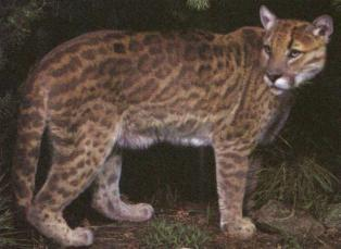 Artist Impression Of A Ocelot X Puma Hybrid Intermediate In Size And Type But Bearing An Pattern Chestnut Brown On Fawn