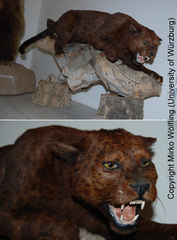 PANTHERE OU LEOPARD - Panthera pardus - Page 3 Red-leopard2