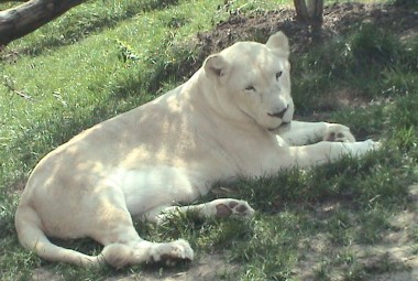 WHITE LIONS IN CAPTIVITY TODAY