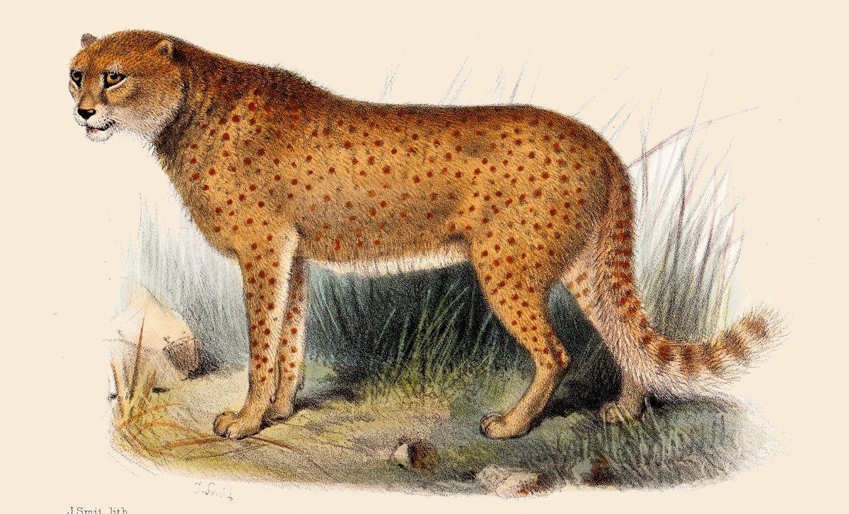 appearance of a cheeta...
