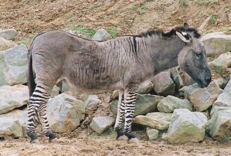 donkey mating big mare