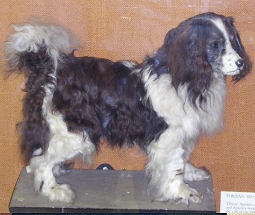 The Toy Trawler Spaniel is an extinct water dog that probably