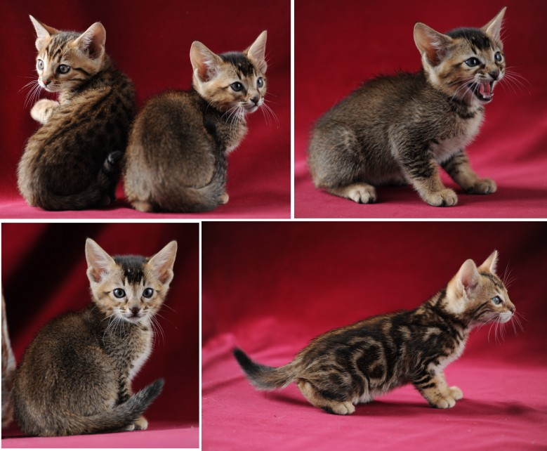 Domestic x Asian Leopard Cat and Margay Hybrids