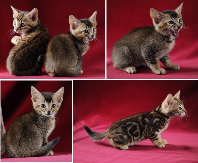 bengal kitten pictures