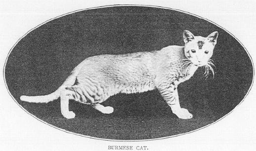 "In 1903, the ""Burmese Cat"""