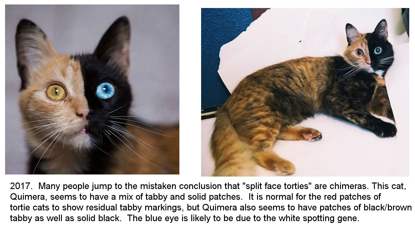 mosaicism or chimera cat