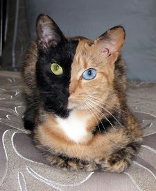 split-face tortie cat