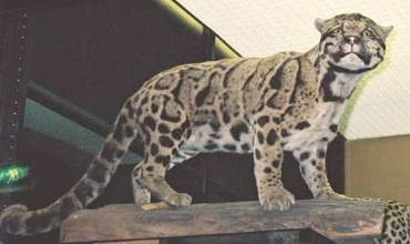 Leopard House Cat Breed
