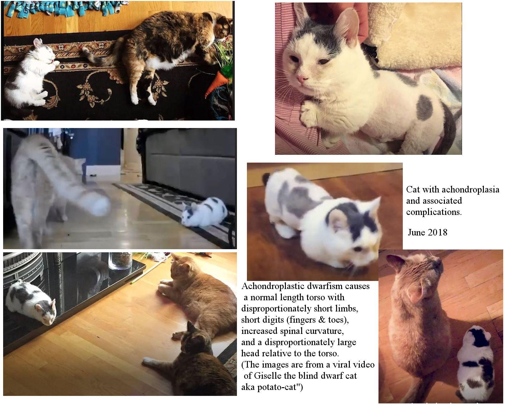 Feline Medical Curiosities Dwarf Cats Giant Cats Fat Cats