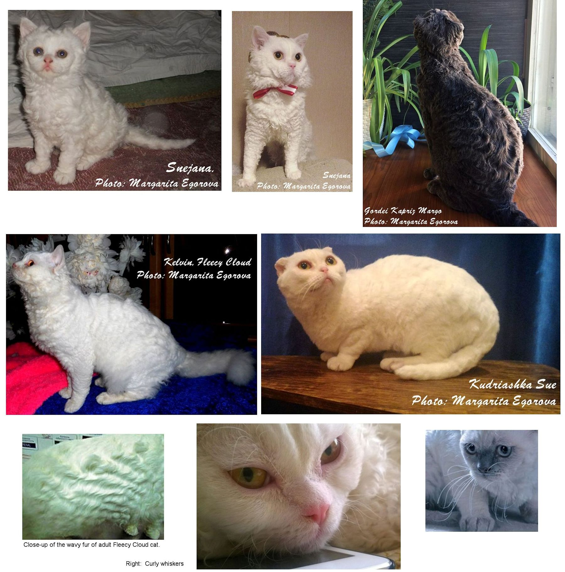 Fleecy Cloud Russian cat breed
