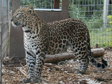leopard and jaguar hybrid - photo #9