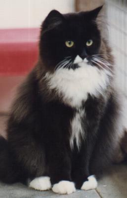 Black And White Semi Longhair Cat