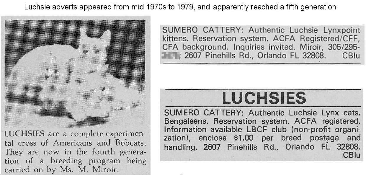 Luchsie lynxpoint alleged bobcat hybrid breed from the 1970s