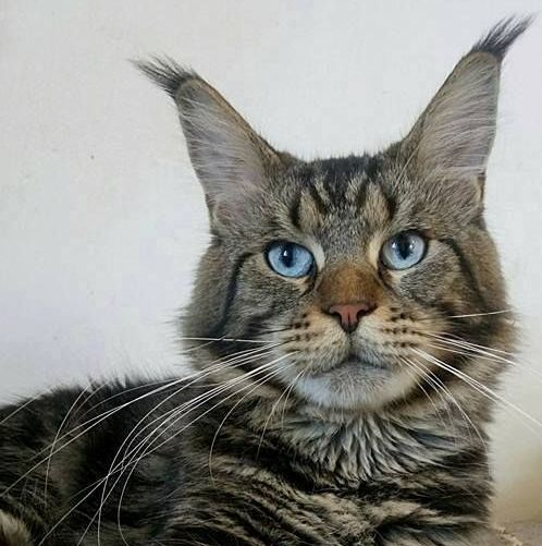 Maine Coon Variants