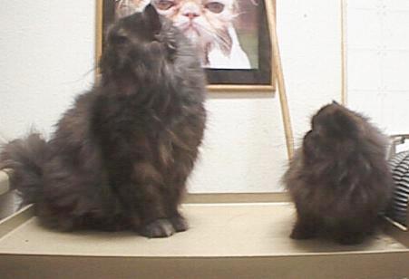dwarf midget and miniature cats teacup cats purebreds