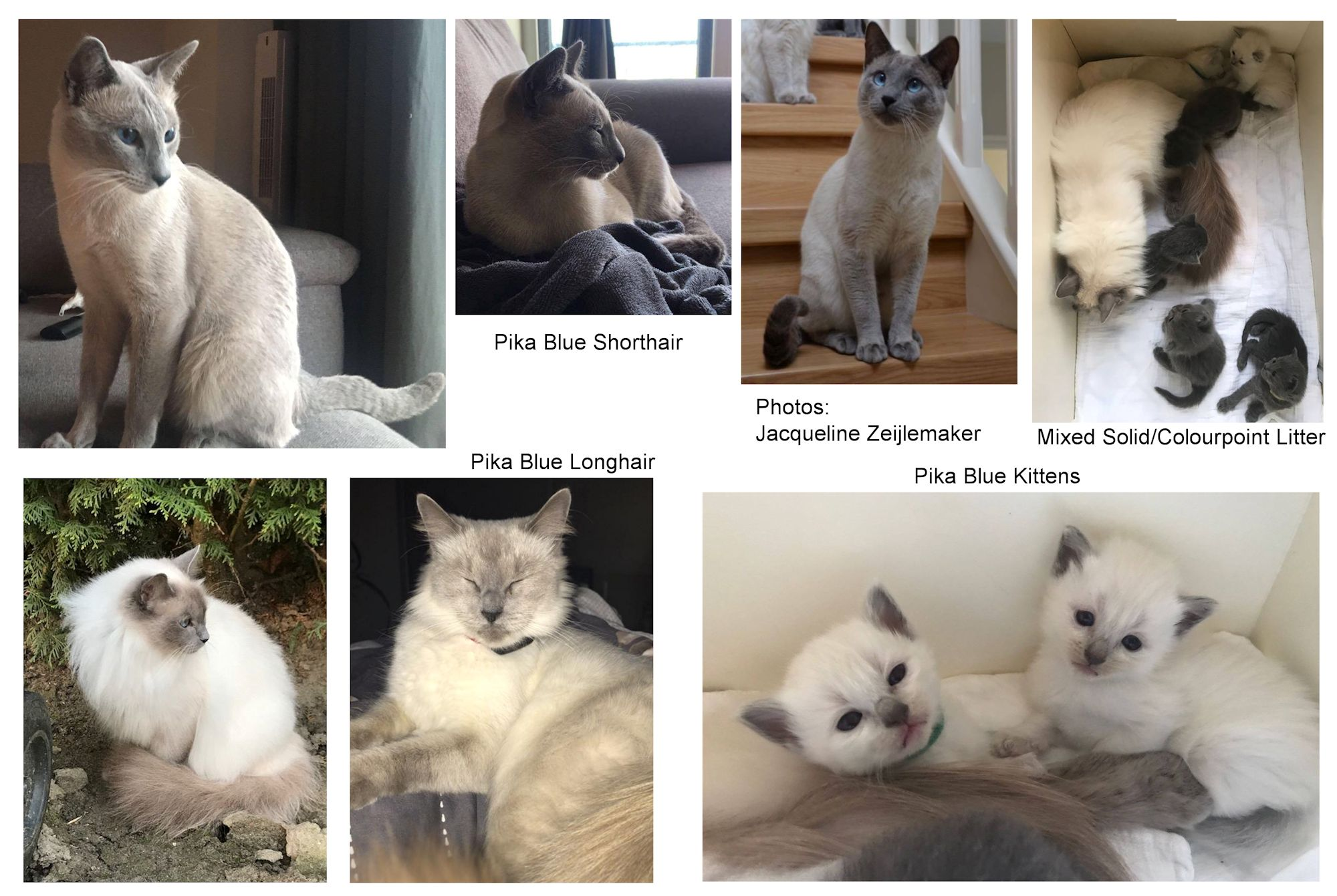Colourpointed Cats Snowshoe Tonkinese Neva Masquerade Opal