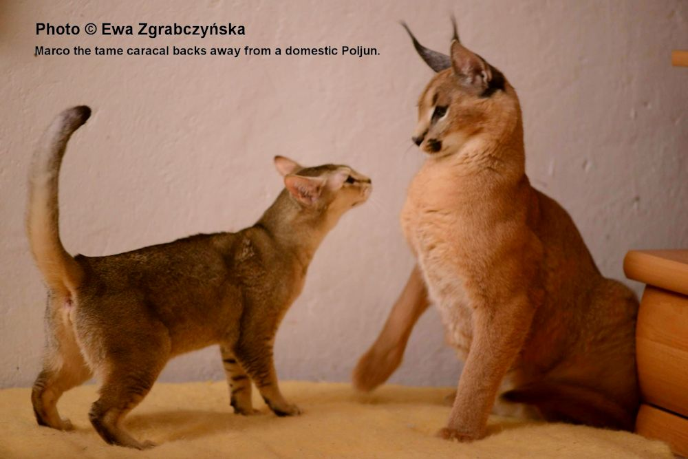 Domestic x Serval and Caracal Hybrids