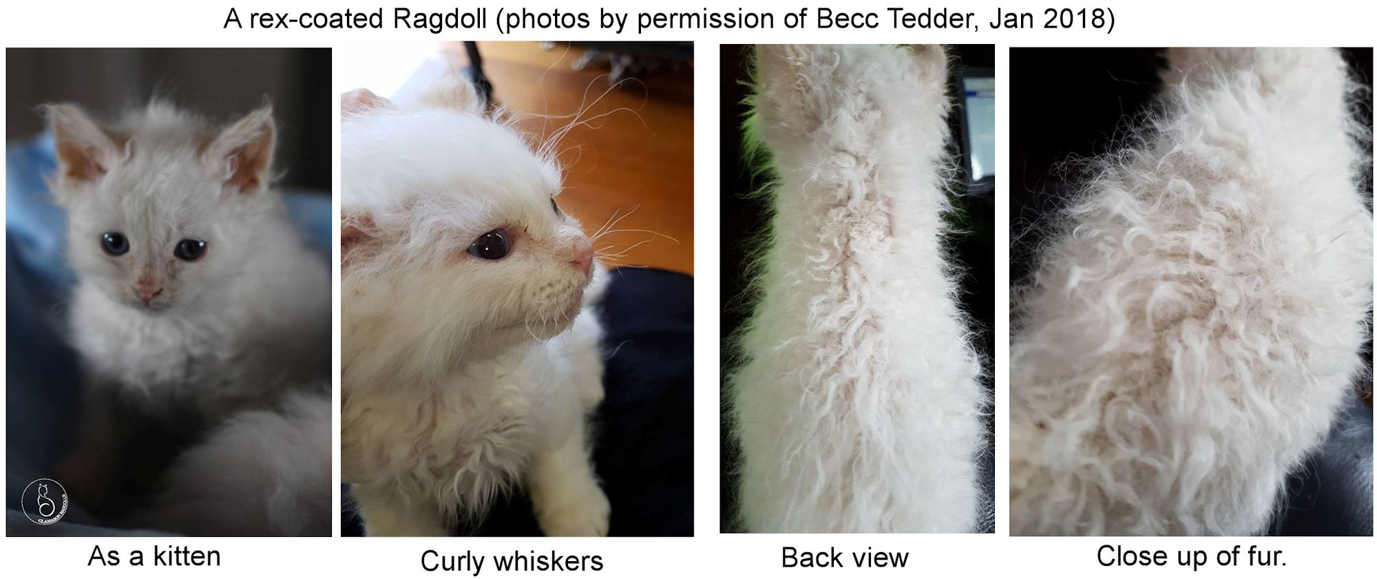 CURLY-COATED CATS