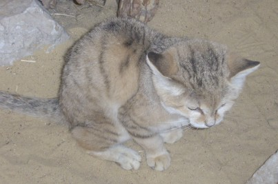 Domestic x sand cat and pallass cat hybrids anecdotally there have been two attempts to breed sand cats with domestic cats in the usa however the sand cats apparently died without producing f1 publicscrutiny Images