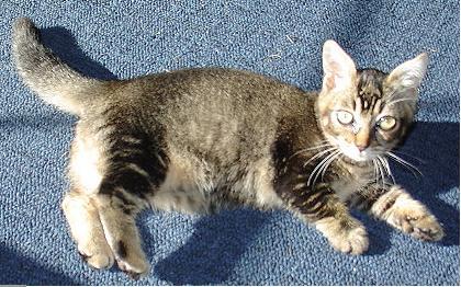 Dwarf midget and miniature cats