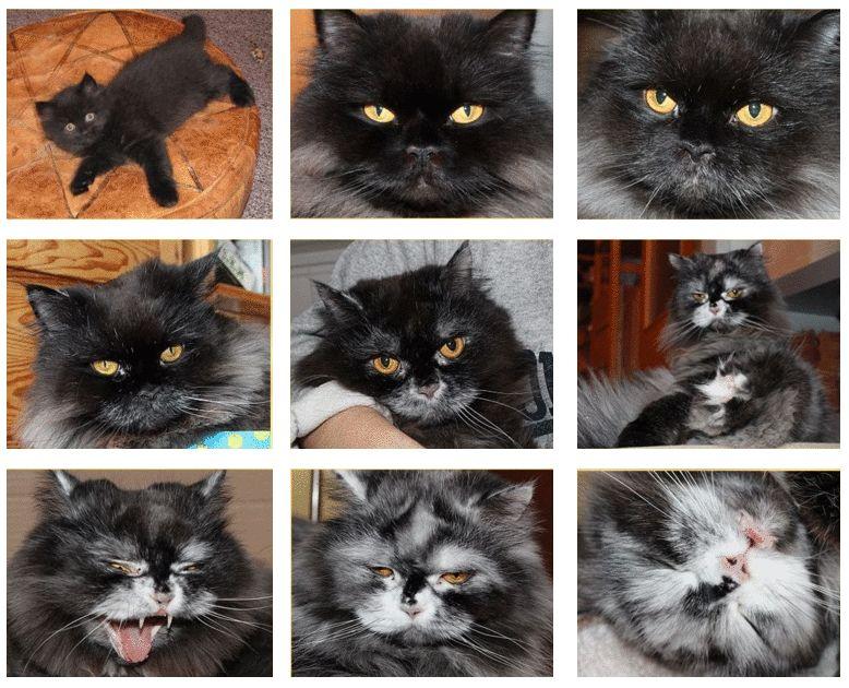 Feline Depigmentation Conditions Vitiligo Leukoderma Leukotrichia