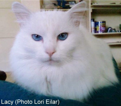 White Cats Eye Colours And Deafness